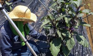 茄子栽培-ポラリス