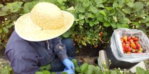 いちご収穫-ポラリス